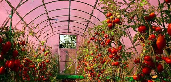 Nanotechnology-Improves-Greenhouse-Growing-PIC-F